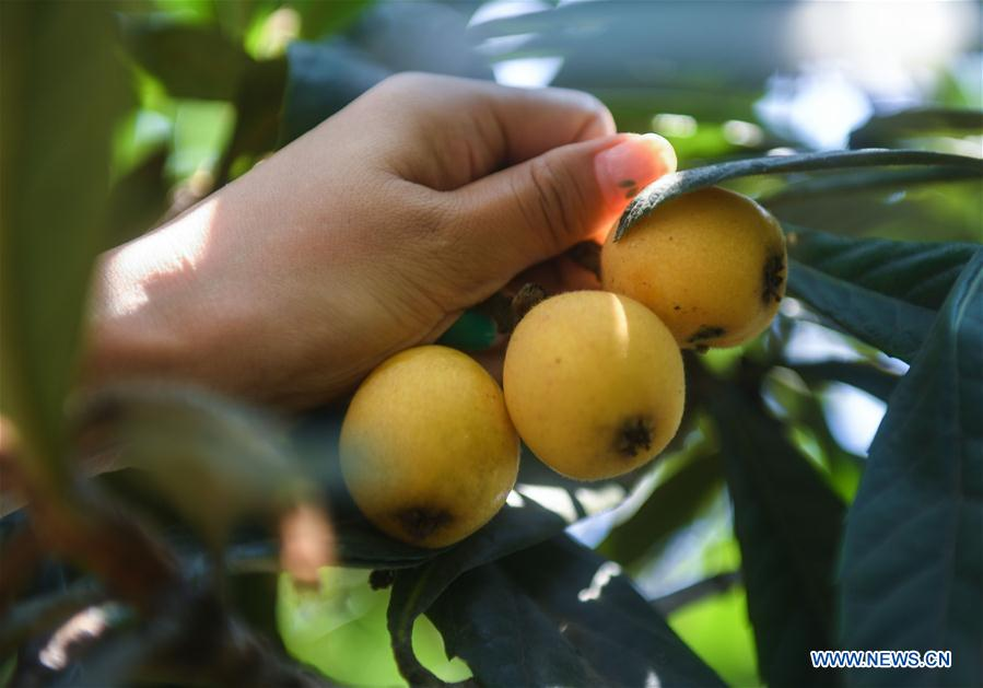 CHINA-ZHEJIANG-LOQUAT-HARVEST (CN)