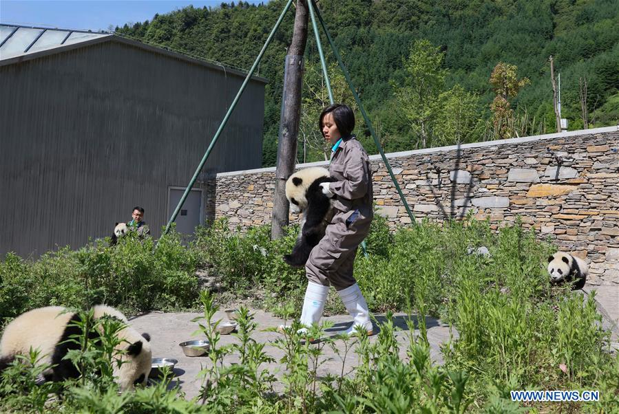 Breeders take care of giant panda cubs in the Shenshuping giant panda protection base of Wolong National Nature Reserve in Gengda Township, southwest China's Sichuan Province, May 16, 2018. The Wolong reserve, some 30 kilometers away from the epicenter of the devastating 2008 earthquake, was severely damaged in the disaster. As a result, some pandas inhabiting the reserve had to be relocated in zoos after the quake. As years passed, Wolong still remains as a suitable habitat for giant panda. Sponsored by the government of the Hong Kong Special Administrative Region, the Shenshuping base covering an area of about 150 hectares opened on May 11, 2016. It is now home to more than 50 giant pandas. (Xinhua/Lan Hongguang)<br/>