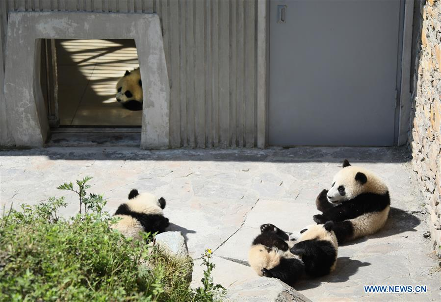 Photo taken on May 16, 2018 shows giant panda cubs in the Shenshuping giant panda protection base of Wolong National Nature Reserve in Gengda Township, southwest China's Sichuan Province. The Wolong reserve, some 30 kilometers away from the epicenter of the devastating 2008 earthquake, was severely damaged in the disaster. As a result, some pandas inhabiting the reserve had to be relocated in zoos after the quake. As years passed, Wolong still remains as a suitable habitat for giant panda. Sponsored by the government of the Hong Kong Special Administrative Region, the Shenshuping base covering an area of about 150 hectares opened on May 11, 2016. It is now home to more than 50 giant pandas. (Xinhua/Lan Hongguang)<br/>
