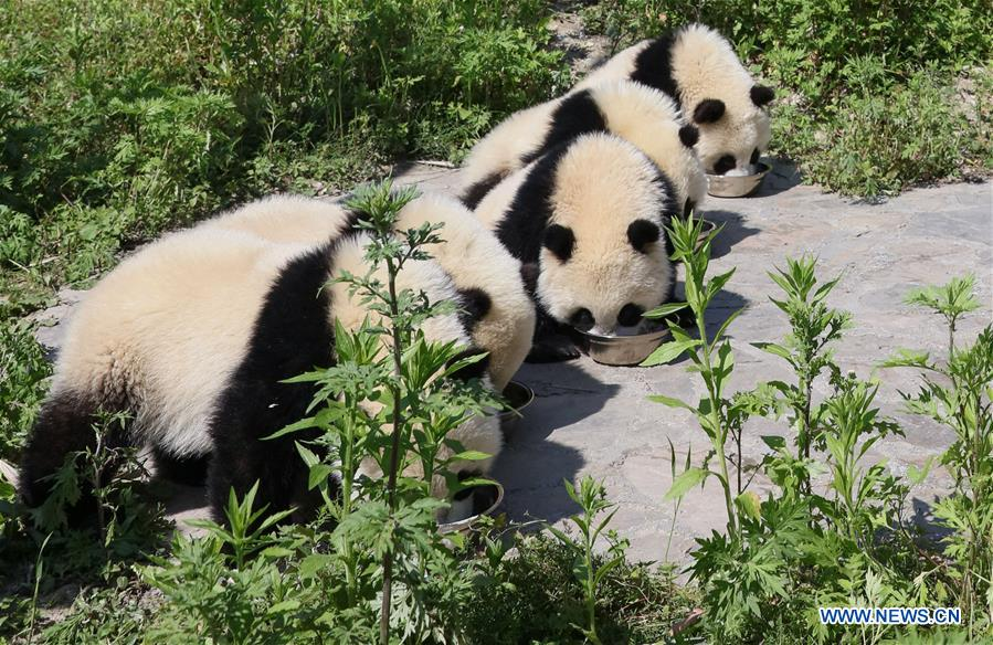 Photo taken on May 16, 2018 shows giant panda cubs in the Shenshuping giant panda protection base of Wolong National Nature Reserve in Gengda Township, southwest China's Sichuan Province. The Wolong reserve, some 30 kilometers away from the epicenter of the devastating 2008 earthquake, was severely damaged in the disaster. As a result, some pandas inhabiting the reserve had to be relocated in zoos after the quake. As years passed, Wolong still remains as a suitable habitat for giant panda. Sponsored by the government of the Hong Kong Special Administrative Region, the Shenshuping base covering<br/>