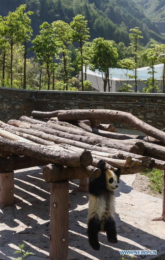 Photo taken on May 16, 2018 shows a giant panda cub in the Shenshuping giant panda protection base of Wolong National Nature Reserve in Gengda Township, southwest China's Sichuan Province. The Wolong reserve, some 30 kilometers away from the epicenter of the devastating 2008 earthquake, was severely damaged in the disaster. As a result, some pandas inhabiting the reserve had to be relocated in zoos after the quake. As years passed, Wolong still remains as a suitable habitat for giant panda. Sponsored by the government of the Hong Kong Special Administrative Region, the Shenshuping base covering an area of about 150 hectares opened on May 11, 2016. It is now home to more than 50 giant pandas. (Xinhua/Lan Hongguang)<br/>