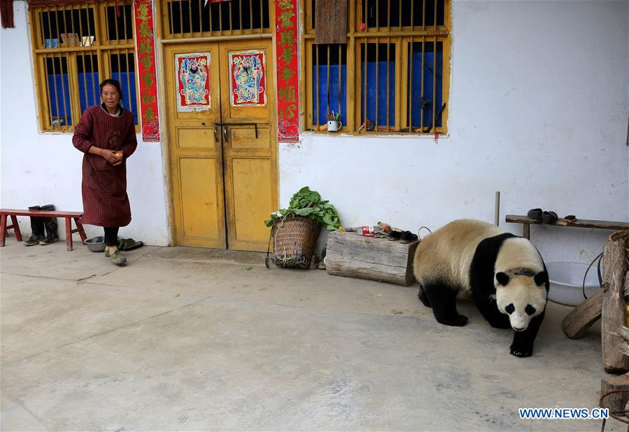 #CHINA-SICHUAN-PANDA-VILLAGE-WANDERING (CN*)