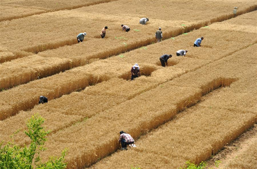 CHINA-HEBEI-CANGZHOU-CROP PRODUCTION (CN)