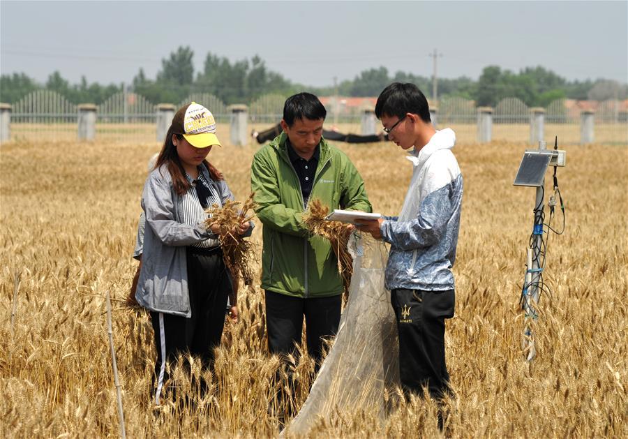 CHINA-HEBEI-CANGZHOU-CROP PRODUCTION (CN)