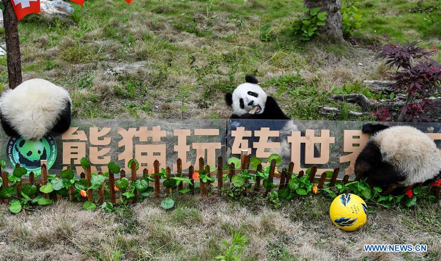 Giant pandas less than one year old take part in a football-themed party at the Shenshuping base of the Wolong giant panda protection and research center in southwest China's Sichuan Province June 10, 2018. (Xinhua/Zhang Chaoqun)<br/>