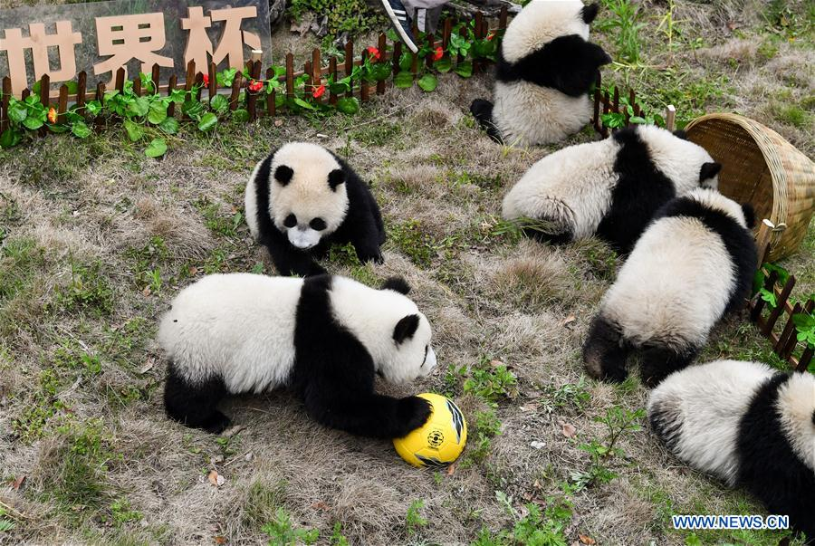 Giant pandas less than one year old take part in a football-themed party at the Shenshuping base of the Wolong giant panda protection and research center in southwest China's Sichuan Province June 10, 2018. (Xinhua/Zhang Chaoqun)