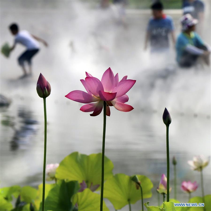 In Pics Lotus Flowers At Wanghe Park In Beijing Xinhua English