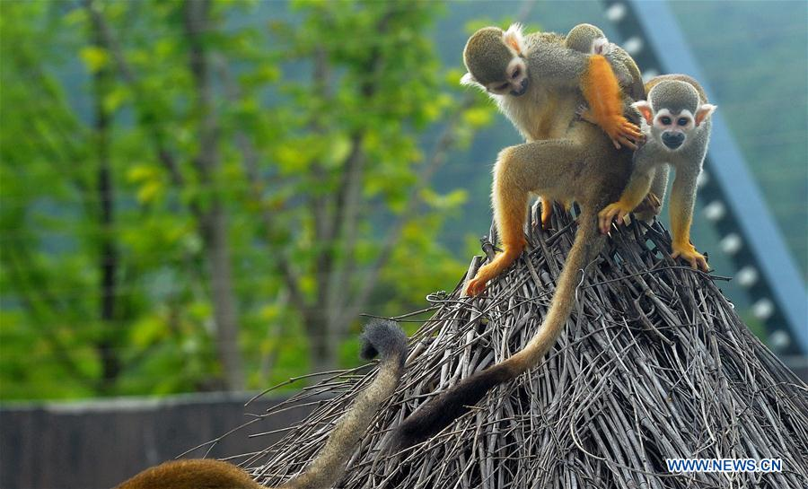 #CHINA-JIANGSU-SUZHOU-SQUIRREL MONKEYS (CN)