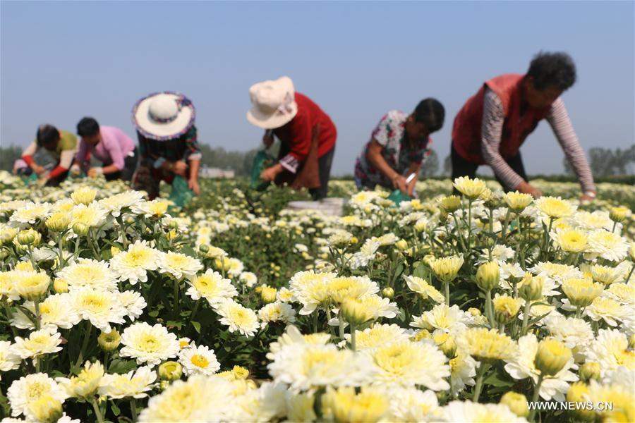 #CHINA-AUTUMN-CHRYSANTHEMUM-HARVEST (CN)