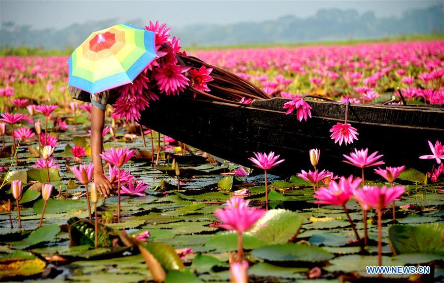 BANGLADESH-BARISAL-RED WATER LILIES
