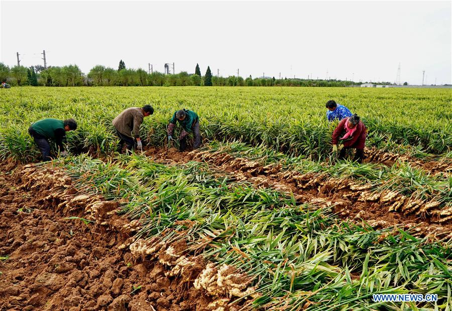 CHINA-HEBEI-AGRICULTURE-GINGER (CN)
