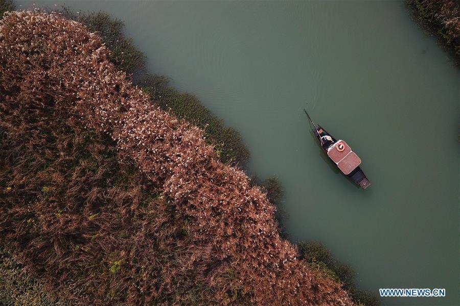 CHINA-ZHEJIANG-HANGZHOU-REED FLOWERS (CN)