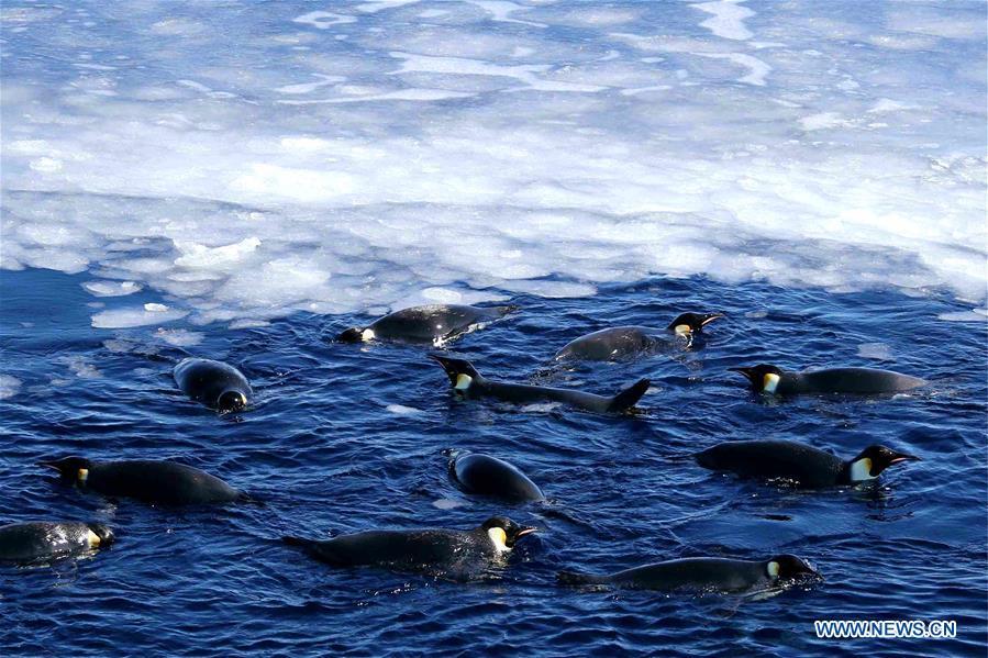 南極 - 雪龍 - 中山站 - 企鵝