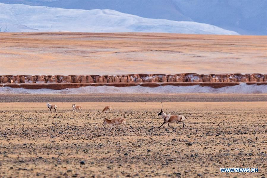 (InTibet)CHINA-WILDLIFE-TIBETAN ANTELOPE-HABITAT (CN)