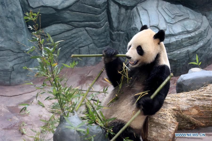 #CHINA-ANHUI-HUANGSHAN-GIANT PANDA (CN)