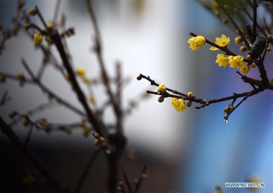 #CHINA-JIANGSU-HUAI'AN-PLUM BLOOSSOM (CN)