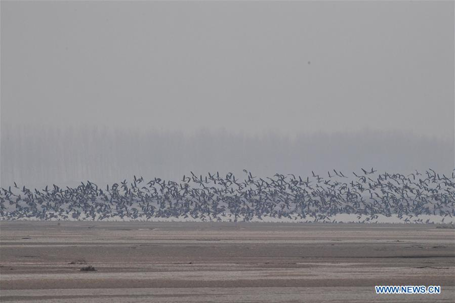 CHINA-HENAN-YELLOW RIVER-MIGRANT BIRDS (CN)