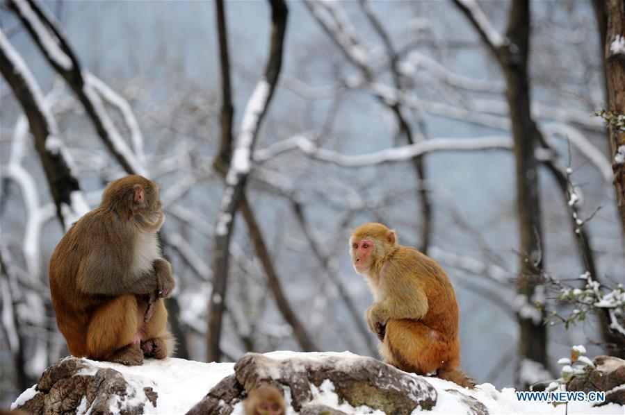 #CHINA-GUIZHOU-GUIYANG-SNOW-MONKEY (CN)