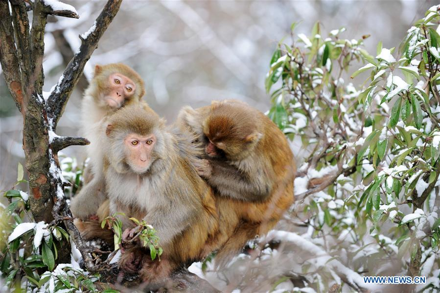 #CHINA-GUIZHOU-GUIYANG-SNOW-MONKEY (CN)