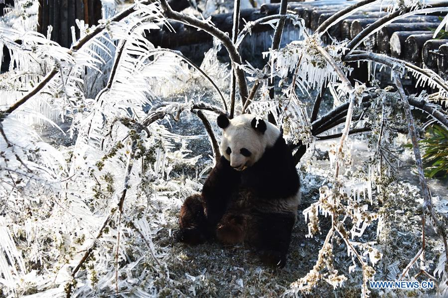 CHINA-JINAN-WINTER-GIANT PANDA (CN)