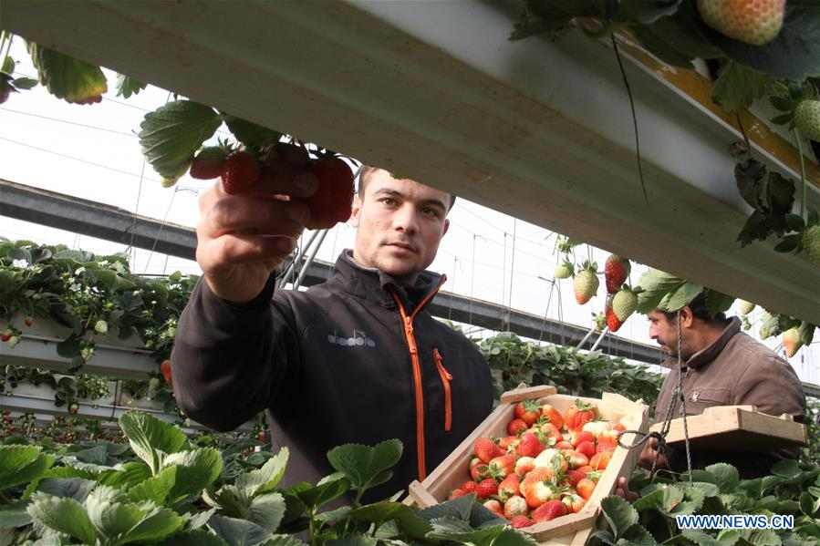 Palestinian farmers harvest strawberries in greenhouse in northern