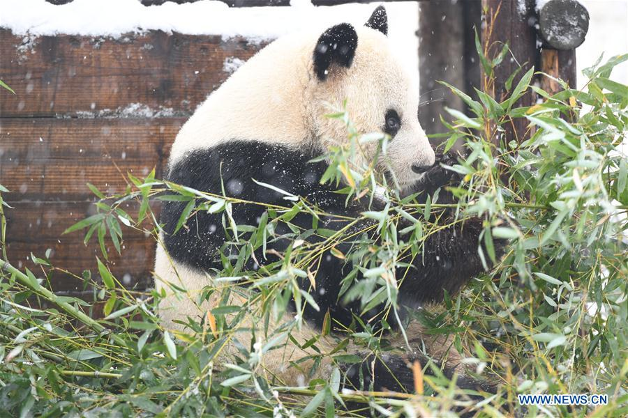 CHINA-ANHUI-SNOW-GIANT PANDA (CN)