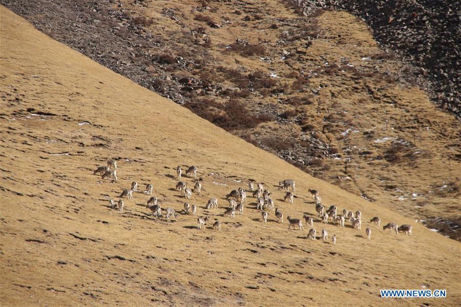CHINA-QINGHAI-WILD ANIMALS-SCENERY (CN)