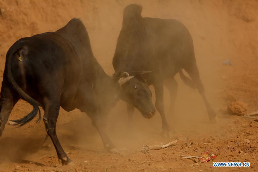 NEPAL-NUWAKOT-BULLS战斗