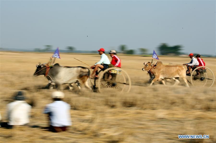 村民参加缅甸勃固地区的牛车比赛