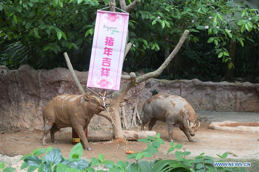 Enclosures of various pig species decorated to welcome Lunar
