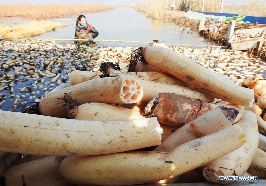 #CHINA-JIANGSU-LIANYUNGANG-LOTUS ROOT-HARVEST(CN)
