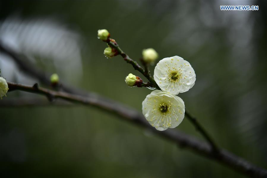 #CHINA-HUBEI-PLUM FLOWERS (CN)