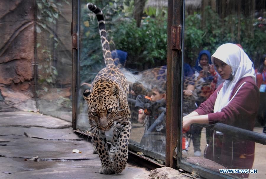 印尼马朗豹