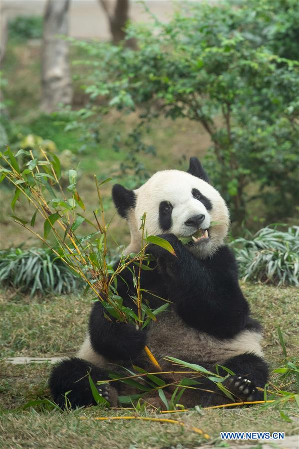 Macao Giant Panda Pavilion offers free admission to celebrate