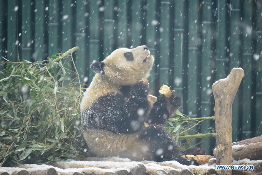 #CHINA-BEIJING-SNOW-GIANT PANDA (CN)
