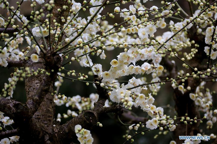 许多梅花预示着春天到达中国?#19981;?#30340;春天