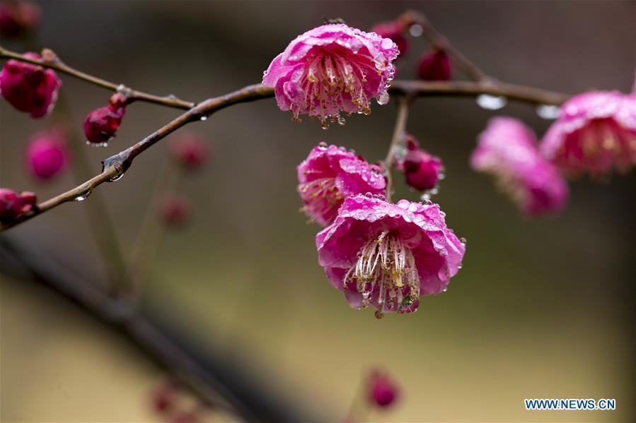 #CHINA-JIANGSU-TAIZHOU-PLUM FLOWERS (CN)