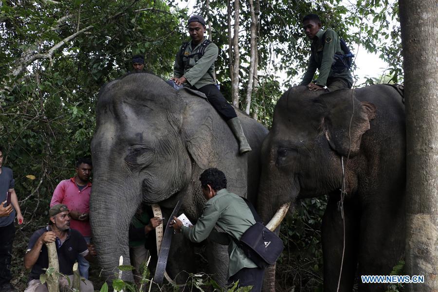 印度尼西亚 -  ACEH-SUMATRAN ELEPHANT-GPS COLLAR-INSTALLATION