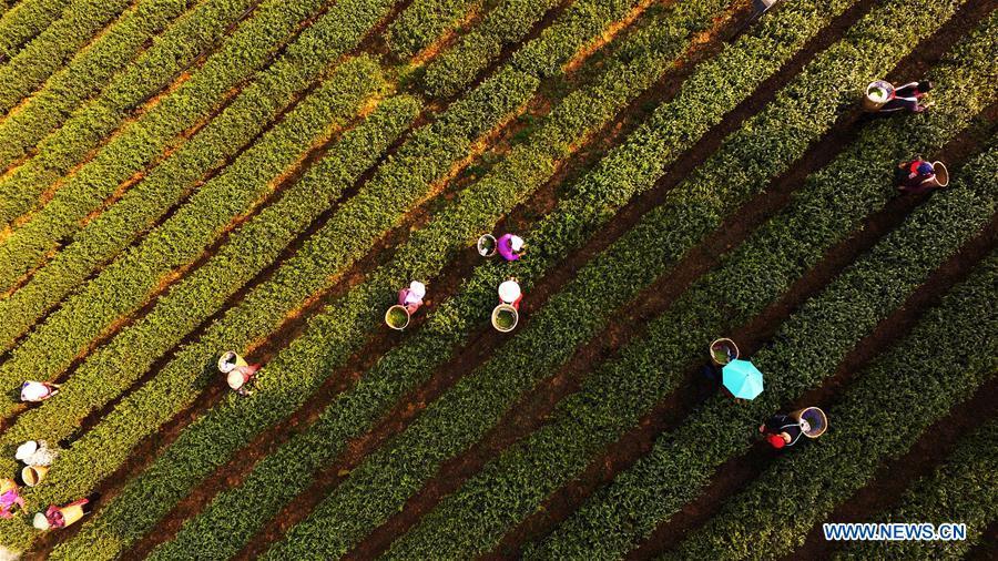 CHINA-CHONGQING-SPRING TEA-HARVEST (CN)