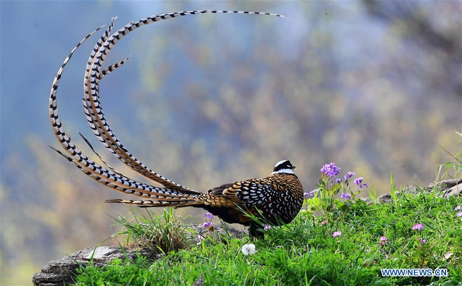 CHINA-HUBEI-WILDLIFE-REEVES'S PHEASANT (CN)