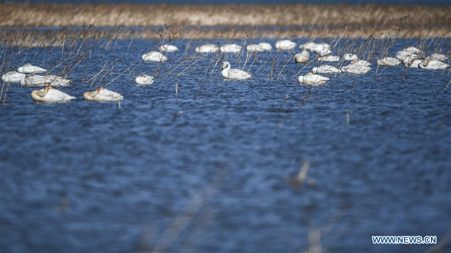CHINA-LIAONING-RESERVOIR-SWANS (CN)
