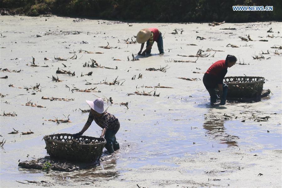 #CHINA-HUNAN-XIANGXI-FARM WORK-LOTUS ROOTS (CN)