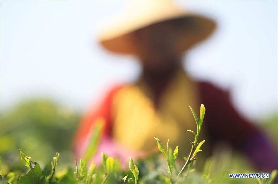 #CHINA-HUNAN-TEA-POVERTY ALLEVIATION (CN)
