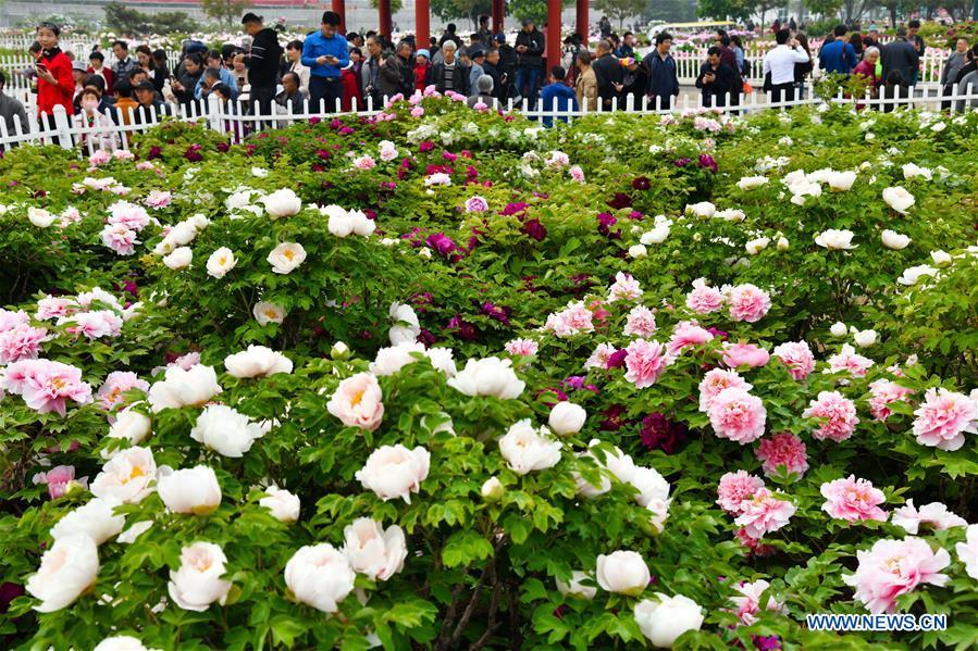 CHINA-Shandong-HEZE-PEONY-FLOWERS(CN)