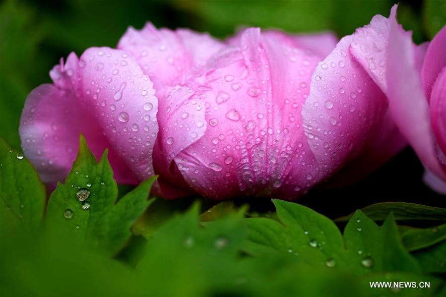 #CHINA-HEBEI-ZHENGDING-PEONY-FLOWERS (CN)