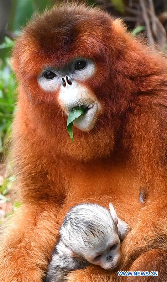 CHINA-GUANGZHOU-GOLDEN SNUB-NOSED MONKEY-NEWBORN (CN)