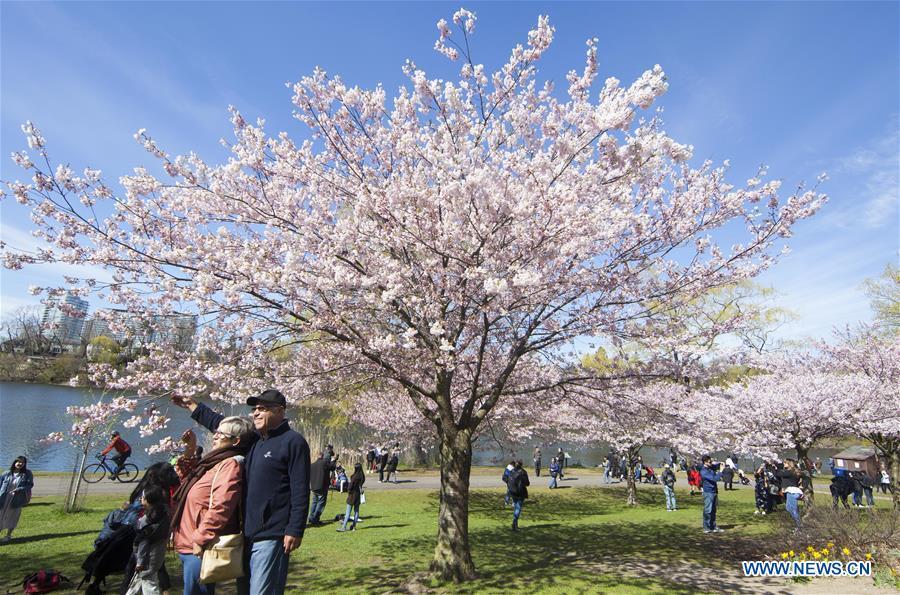 加拿大多洛多樱花