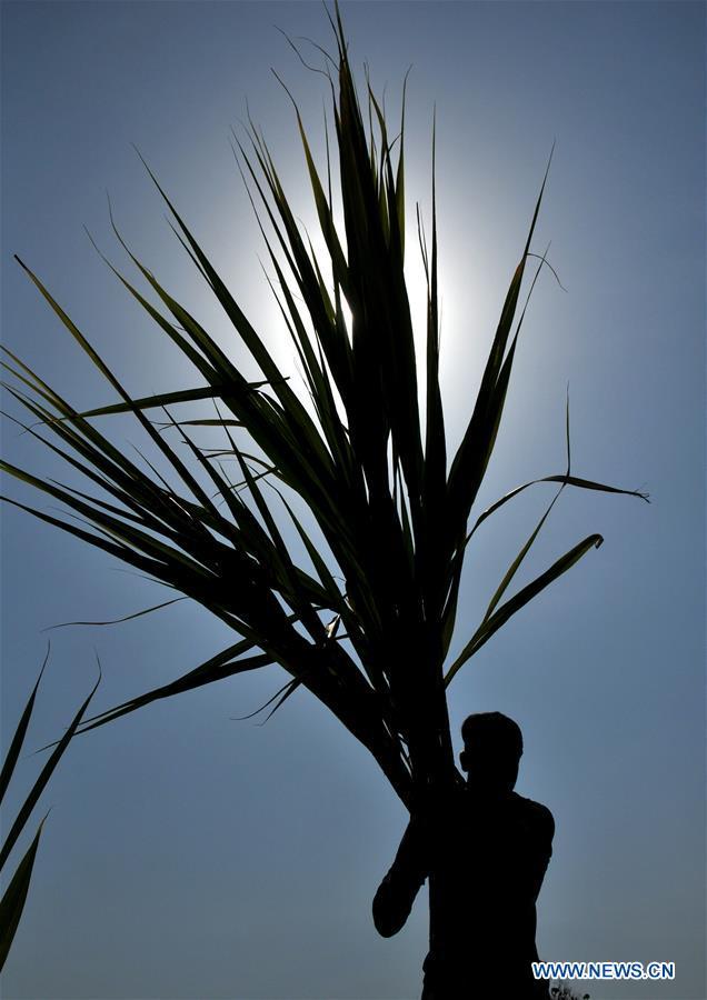人们在印度控制的克什米尔收获甘蔗
