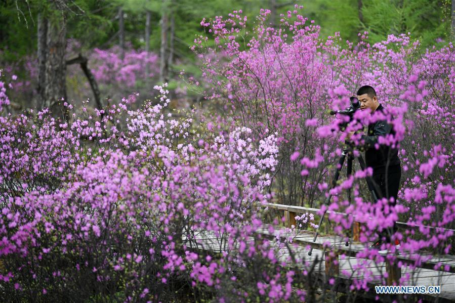 CHINA-HEILONGJIANG-YICHUN-AZALEA (CN)