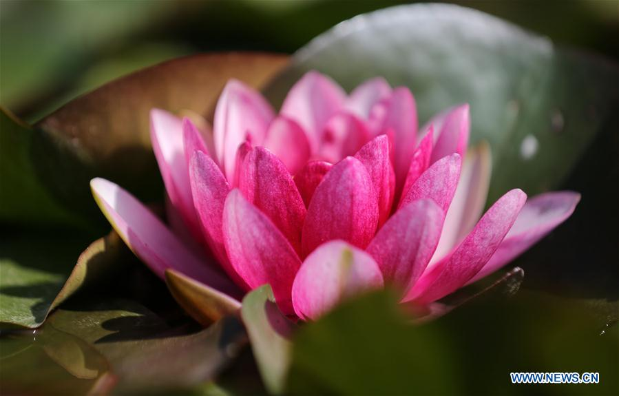#CHINA-WATER LILY-BLOSSOM (CN)